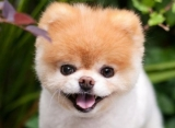 Remembering Boo, 'World's Cutest Dog,' Who Dies at 12 - See the Cutest Pics