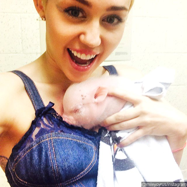Miley Cyrus Introduces New Pet Piglet