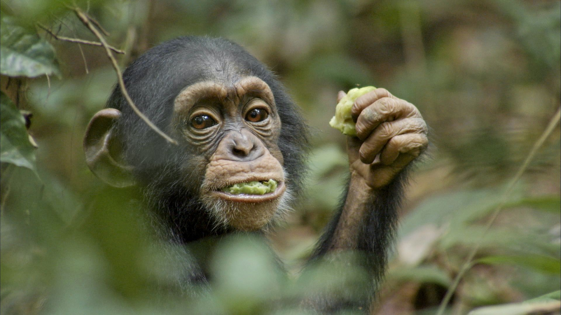 Chimpanzee Picture 11