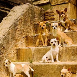 A scene from Walt Disney Pictures' Beverly Hills Chihuahua (2008). Photo credit by Daniel Daza.