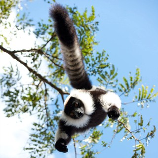 Island of Lemurs: Madagascar Picture 1